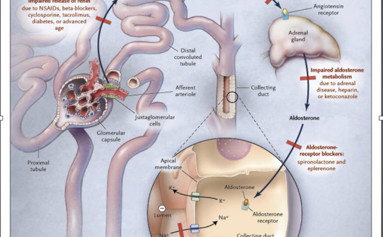 Renin-Angiotension System and Regulation of Potassium Excretion by the Kidney